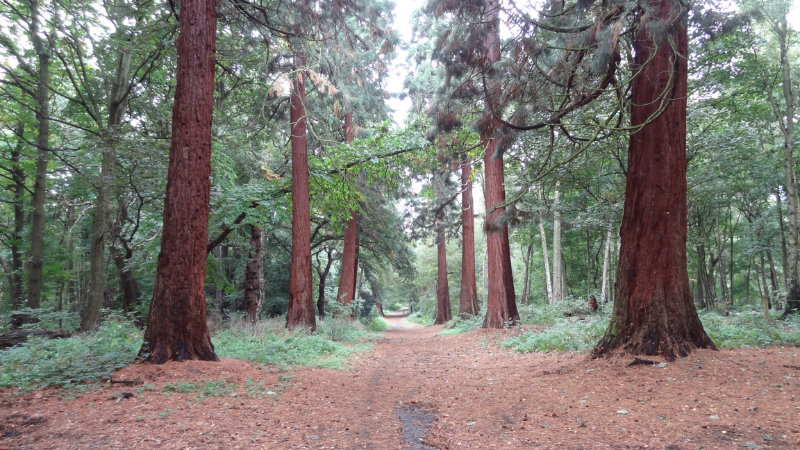 Hornchurch-country-park-giant-redwoods