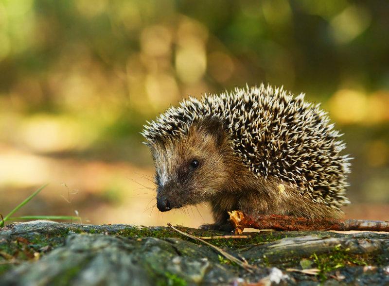Young hedgehog in natural habitat
