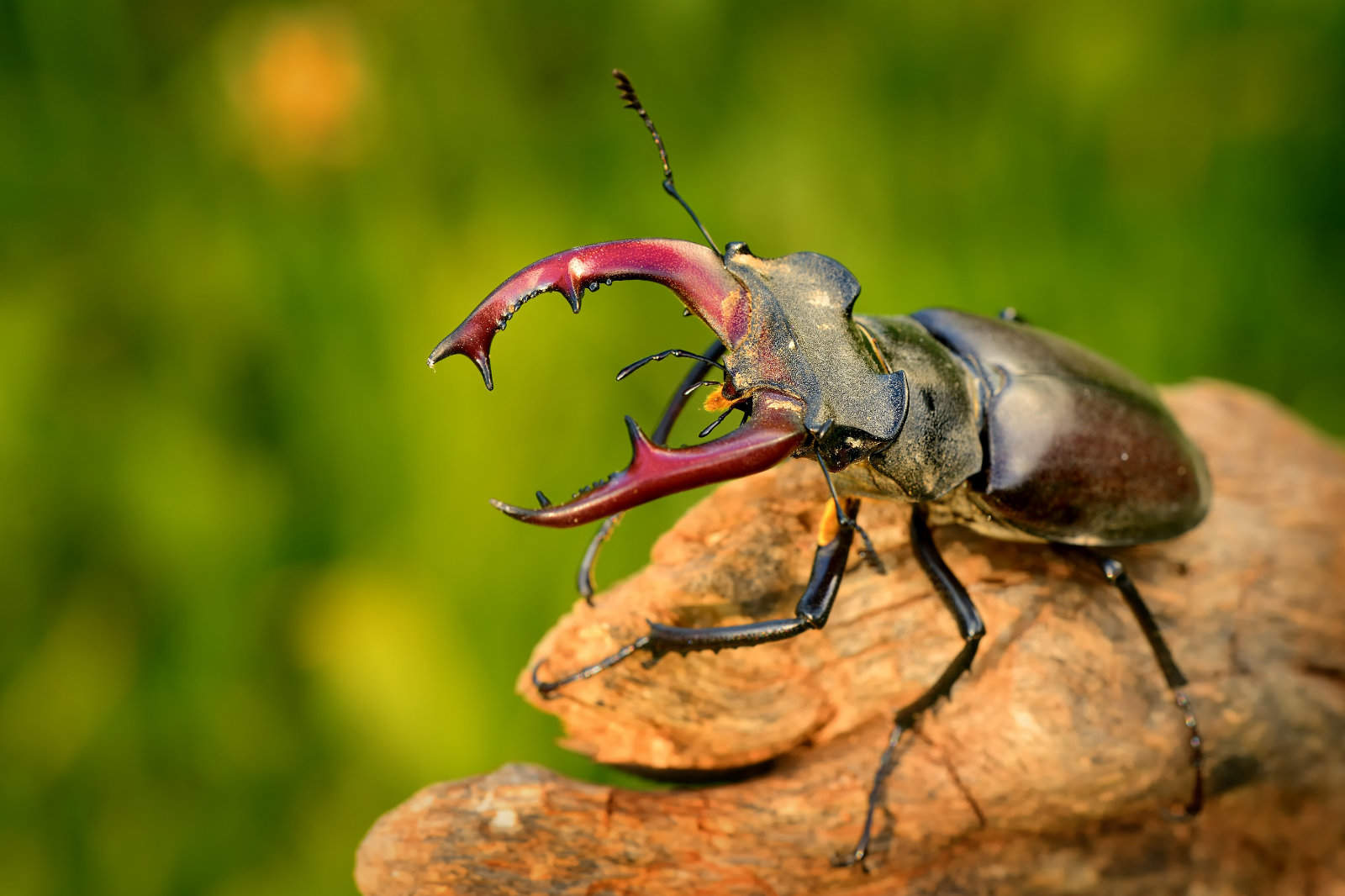 Stag Beetle (Lucanus cervus) on the tree branch. Big horned beetle perched on the branch
