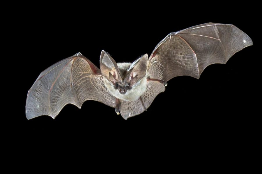 Flying bat isolated on black background. The grey long-eared bat (Plecotus austriacus) is a fairly large European bat. It has distinctive ears, long and with a distinctive fold. It hunts above woodland, often by day, and mostly for moths.